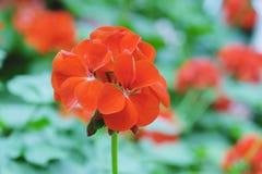 Beautiful orange geranium flower blooming in nature royalty free stock images