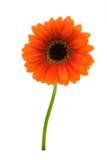Beautiful orange gerbera. Isolated on a white background stock image