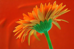 Beautiful Orange Gerbera Stock Photography