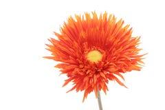 Beautiful orange gerbera daisy flower Stock Photos