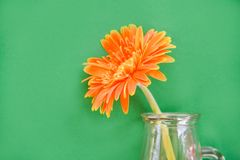 Beautiful orange gerbera daisy flower glass jar composition on green background. Beautiful orange gerbera daisy flower in glass jar composition on green royalty free stock photos