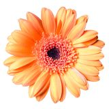 Beautiful orange gerbera daisy flower isolated on white background closeup.  stock image