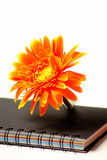 Beautiful orange gerbera flower isolated Royalty Free Stock Photo