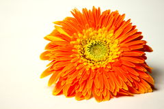 Beautiful orange gerbera flower Stock Photography