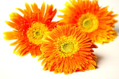 Beautiful orange gerbera flower isolated Royalty Free Stock Photos