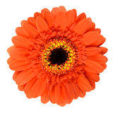 Beautiful Orange Gerbera Flower Isolated on White Royalty Free Stock Image