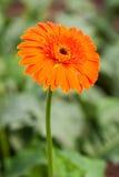 Beautiful Orange Gerbera Stock Images