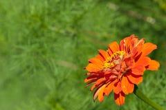 Beautiful orange gerbera on green. Background in the corner. Copyspace. Focus on stamens Royalty Free Stock Photo