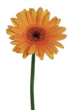 Beautiful orange gerbera, isolated on white Royalty Free Stock Photography