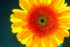 Beautiful orange gerbera in sunlight Royalty Free Stock Photography