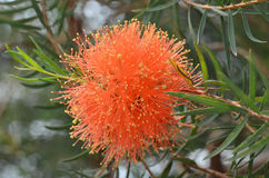 Beautiful orange Grevillea flowers Stock Photography