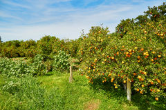 Beautiful orange grove in Northern Morocco Stock Photography