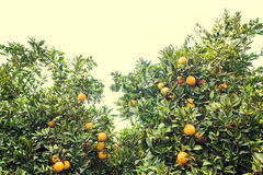 Beautiful and Orange Grove. A grove of orange trees. Fresh, ripe, golden oranges still growing on trees. Healthy citrus ready to eat Stock Photo