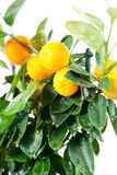 Beautiful orange grow on the tree. On a white background Royalty Free Stock Photos