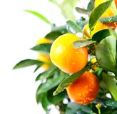 Beautiful orange grow on the tree. On a white background Stock Image