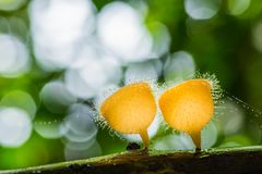 Beautiful orange hairy mushrooms growing on decayed tree Royalty Free Stock Image