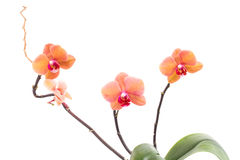 Beautiful orange home flowers branch. Royalty Free Stock Photo