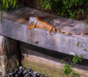 Beautiful orange iguana with large dewlap. Beautiful orange iguana lizard with black stripes on tail sunning himself on a sea wall Stock Image