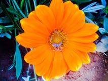 beautiful orange jarberra flower stock photo