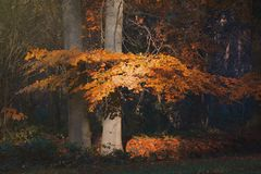 Beautiful orange leaves in fall forest. stock image