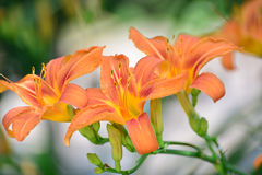 Beautiful orange lilies in the garden Stock Photos