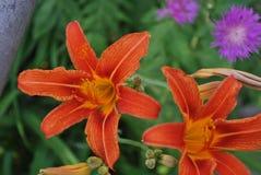 Beautiful orange lilies under the sun stock photo