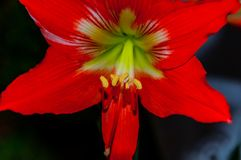 Orange lilium flower. Beautiful orange lilium flower in the garden Royalty Free Stock Photography