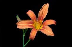 Beautiful Orange Lily Stock Image
