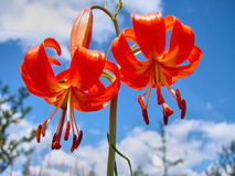 Beautiful orange lily against the sky with white clouds Stock Photos