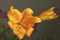 Beautiful orange lily Royalty Free Stock Images