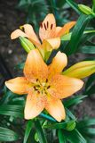 Beautiful Orange lily flower in botanic garden. Floral decoration Royalty Free Stock Images