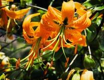 Beautiful orange lily flowers Stock Photos