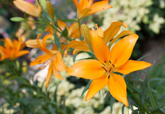 The beautiful orange lily in garden at the morning Stock Image