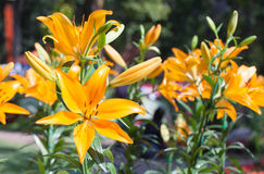 The beautiful orange lily in garden at the morning Royalty Free Stock Photos