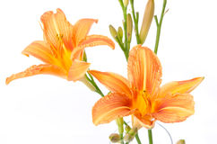 Beautiful orange lily Royalty Free Stock Photography