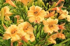 Beautiful orange lily. Stock Photos