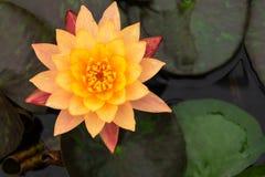 Beautiful orange lotus with yellow pollen Stock Photo
