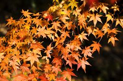Beautiful orange maples Royalty Free Stock Photography