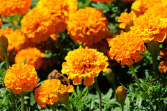 Beautiful orange marigold flowers, Orange Tagetes, Mainau Island royalty free stock photography