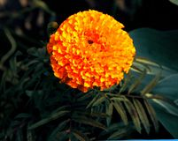 Beautiful orange marigolds on the flower bed stock photo