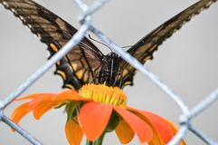 A lone butterfly trapped behind a fence royalty free stock images