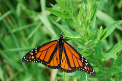 Beautiful Orange Monarch. Butterfly in park, Ontario, Canada royalty free stock photo