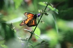 Beautiful orange monarch butterfly on a violet delicate flower. Summer spring image.  stock images