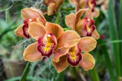 Beautiful orange orchid flower branche royalty free stock images