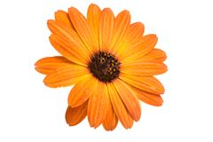Beautiful orange osteospermum or african daisy flower isolated. On white stock photography