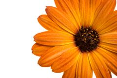 Beautiful orange osteospermum or african daisy flower isolated. On white royalty free stock photos