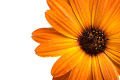 Beautiful orange osteospermum or african daisy flower isolated. On white royalty free stock photo