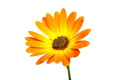Beautiful orange osteospermum or african daisy flower isolated. On white stock images