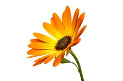 Beautiful orange osteospermum or african daisy flower isolated. Beautiful orange osteospermum or african daisy lower isolated on white royalty free stock images
