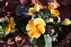 Beautiful Orange Pansy Flowers Blooming royalty free stock images